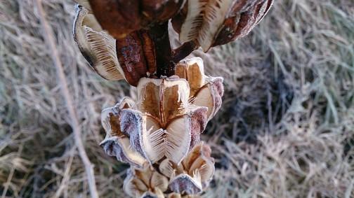 ウバユリの実中身 あんなにぎっしり詰まっていた種もすっかり空っぽです。春まで立っているような丈夫なシステムだからこそ、全部の種をきっちり飛ばして役目を果たすことができるんですねえ・・・ただただ「お疲れさま」という感じです。来年またこの位置に再び芽を出すのでしょうか?
