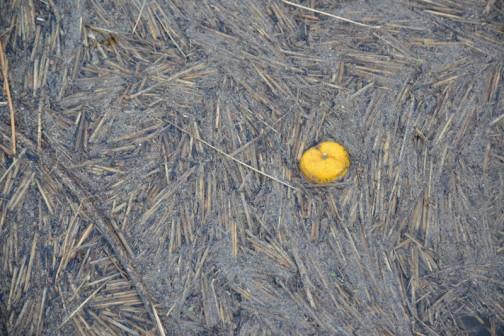 ゴッホの描いた「ユズ」・・・じゃなくて、切り藁がこんなふうに水路に流れてきます。それを地上にすくいあげて除去する機械みたいなんです。