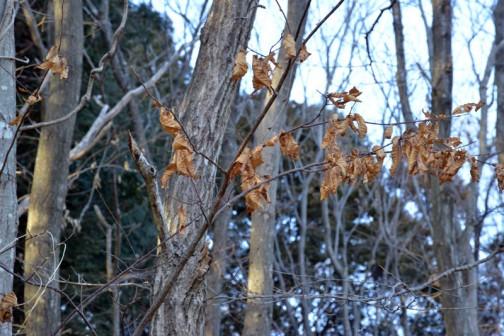 上のほうはすっかり葉を落としていても、下のほうはこうやって残っています。