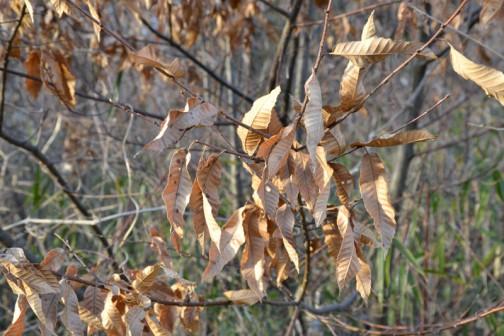 こんな感じです。葉っぱを落とさない落葉樹はけっこうあるのでした。