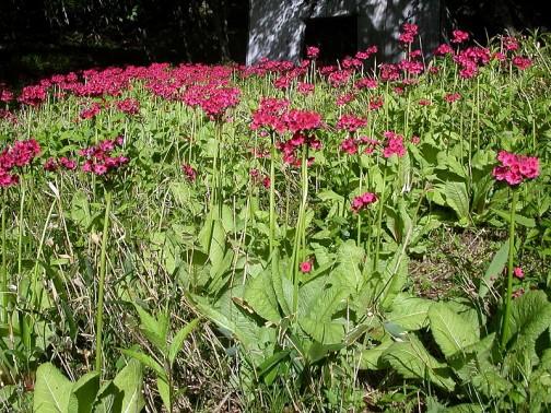 クリンソウ サクラソウ科の花だそうです