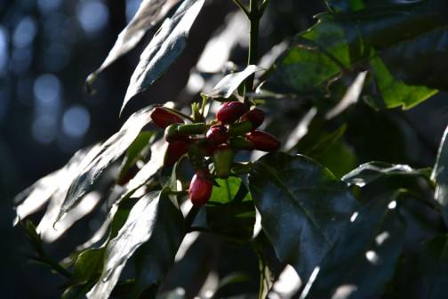 こちらは「アオキ」の赤い実でしょうか? まあ、これは冬でもありますね。