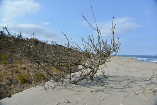 以前は防風林のあった場所へ砂が襲いかかっています。松が松食い虫などにやられて枯れたのが先か、砂が来てから枯れたのかはわかりませんが、松林が飲み込まれようとしています。砂丘が後退しているんです。