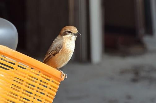 辺り一面にちらばったそういう虫達をついばもうと鳥がやってきます。これはモズ。バグズライフにでてきた、虫達の天敵、鳥にそっくりです。