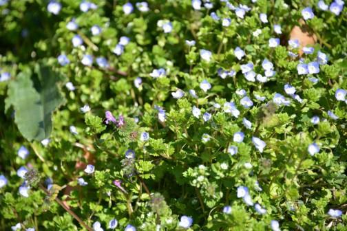 昨年の秋に雑草を短く刈り込んだあと、ずっと何も生えていなかった土手に「オオイヌノフグリ」が一斉に咲いています。お約束の風景。