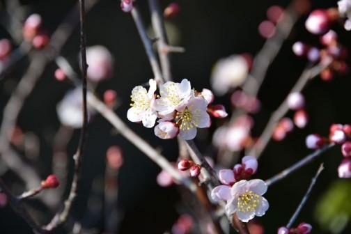 今年の梅の花