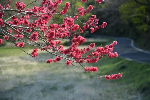 散歩に来ていた方に「赤桜」って言うんだよ・・・といわれました。
