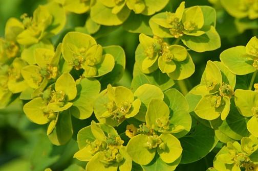 4月下旬。水路のほとり、ノウルシの花。