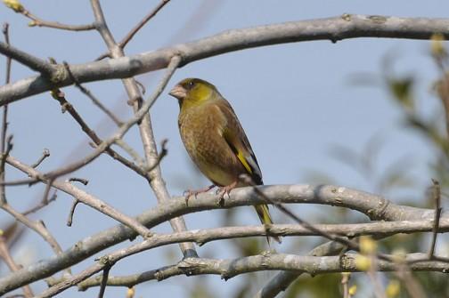 """カワラヒワ(河原鶸、学名:Carduelis sinica)はスズメ目アトリ科に分類される鳥類の一種である。英名 """"Oriental Greenfinch"""" は東洋にいる緑色のアトリ類の意味。種小名sinicaは支那(中国)の意味である"""