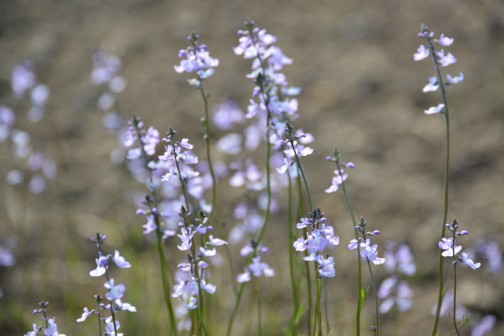マツバウンラン(松葉海蘭、Linaria canadensis)はゴマノハグサ科ウンラン属の一年草または二年草。葉の形が松葉、花がウンラン (L. japonica) に似ていることからこの名がついた。