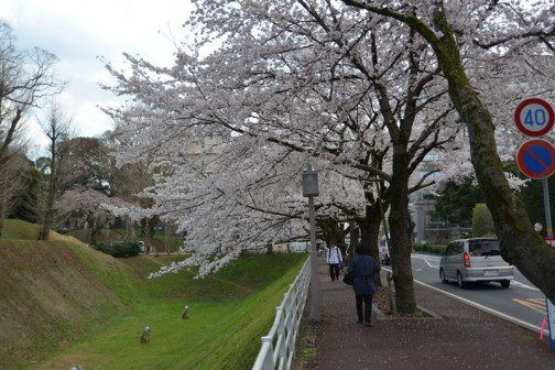 水戸市、お堀(空掘)の桜。