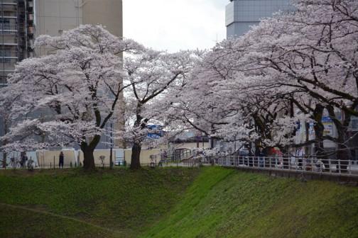 水戸市、お堀(空掘)の桜。この時だけ曇り・・・残念