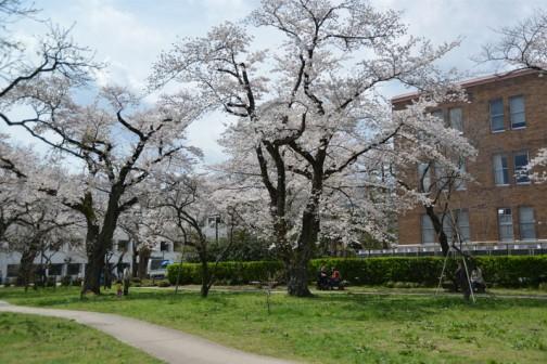 弘道館鹿島神社の桜 まわりは結構車が走り回っていて、ガチャガチャしていると思いますが、ここに居る人たちの時間はちょっとゆっくり。