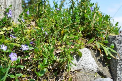 ツルニチニチソウ(蔓日々草、学名:Vinca major)はキョウチクトウ科の常緑蔓性植物の一種。ツルギキョウともいうが、キキョウ科にツルギキョウ(学名:Campanumoea maximowiczii)という植物があり、キキョウ科のものが標準和名のツルギキョウである。