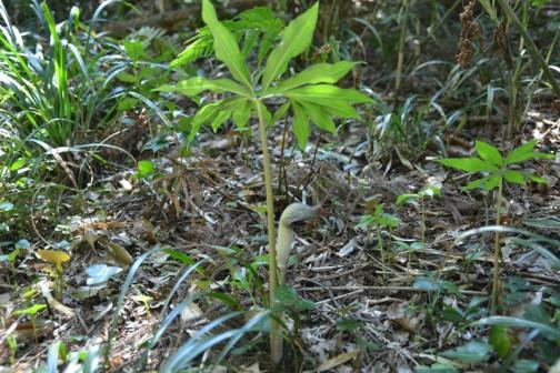 水戸市大場町4月の花、勝手にオリエンテーリング ウラシマソウ(学名 Arisaema urashima)は、サトイモ科テンナンショウ属の宿根性の多年草。