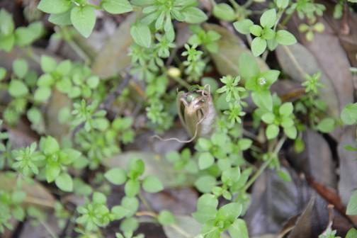 ウラシマソウ(学名 Arisaema urashima)は、サトイモ科テンナンショウ属の宿根性の多年草。ナンゴクウラシマソウ (Arisaema thunbergii Blume)の亜種   本種は日本の本州、四国を中心に、北海道と九州の一部に分布する宿根性の多年草で、関東では4月下旬から5月上旬にかけて開花する。耐陰性が強く乾燥を嫌うため、明るい林縁からやや暗い林中などに自生が認められるが、日照量が不足する条件下では開花困難か雄性個体ばかりとなりやすく、逆に適度な日照量条件下では無性期、雄性期、雌性期のすべてが見られることとなる。