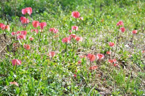 花とも芽とも木とも草ともつかない視野の端の謎、調べてみると、切花や庭木にされるトウダイグサ科の落葉低木で、「オオバベニガシワ」もしくは「オオバベニアカメガシワ」というのでした。