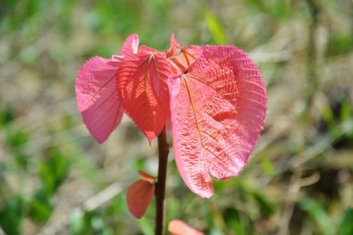 調べてみると、切花や庭木にされるトウダイグサ科の落葉低木で、「オオバベニガシワ」もしくは「オオバベニアカメガシワ」というのでした。