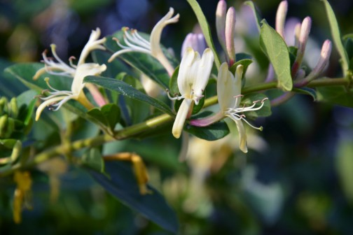 スイカズラ(吸い葛、学名:Lonicera japonica)はスイカズラ科スイカズラ属の常緑つる性木本。別名、ニンドウ(忍冬)。冬場を耐え忍ぶ事からこの名がついた。