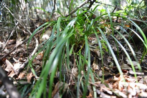 シュンラン(春蘭、学名: Cymbidium goeringii)は、単子葉植物ラン科シュンラン属の蘭で、土壌中に根を広げる地生蘭の代表的なものでもある。名称の由来は「春蘭」で、春に咲くことから。 古くから親しまれてきた植物であり、ホクロ、ジジババなどの別名がある