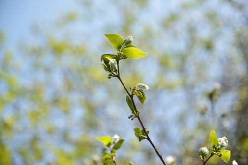 ヤマコウバシ(山香し、学名: Lindera glauca)は、クスノキ科クロモジ属の落葉低木。 和名は、枝を折るとよい香りがすることから。