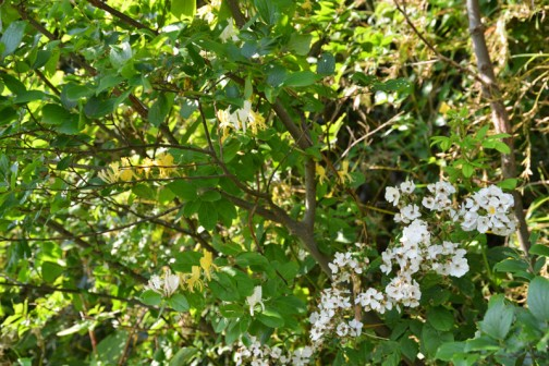 右下、水路脇の薮の上に咲く白い花はノイバラの花。左の真ん中あたり、黄色い花がスイカズラの花。仲良く咲いているのを見かけるんです。
