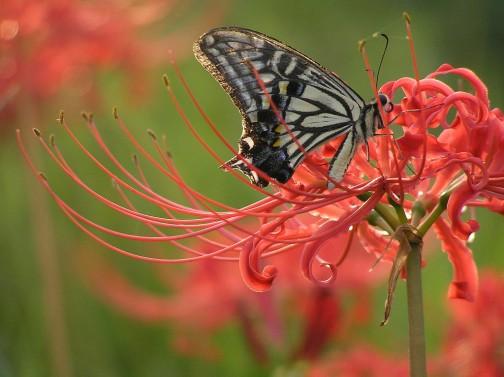 ヒガンバナの花。ウィキペディアより。