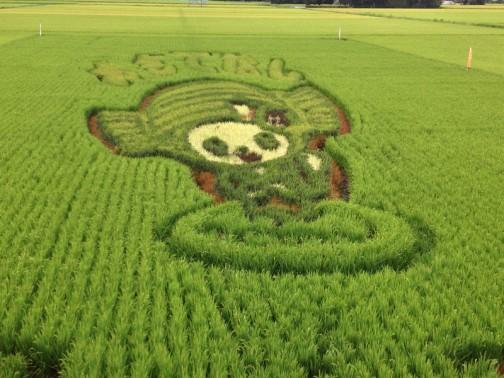 8/23の田んぼアート。結構稲の特色がっ際立ってきたように思います。