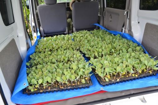 これがキャベツの苗です。これがあのキャベツになると想像するのはちょっと難しいふたばちゃん。