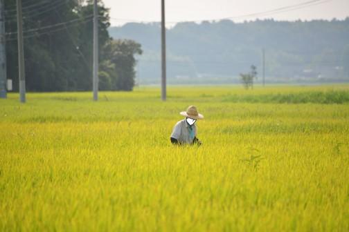 刈り始めのこのときは一面の稲穂ですが、牛さんのエサであるこのお米を作っている面積は大きくなっていて、飼料稲の稲刈りが終ると半分くらい近所の田んぼの稲刈りが終っちゃった感じになります。牛の数のほうが人間より多い感じ。