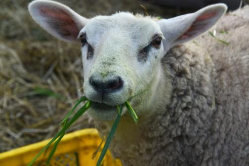 僕のイメージの中ではこんなのが「羊」。・・・でも、オスの羊は大絵馬のようにああいうのもいるんですって!