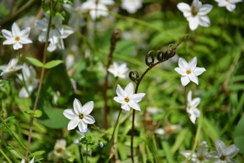 ハナニラです。ウィキペディアによればハナニラ(花韮、学名:Ipheion uniflorum )はネギ亜科ハナニラ属に属する多年草で、帰化植物だそうです。