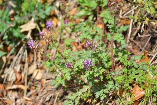 紫の花はムラサキケマンだと思います。ウィキペディアによれば、ムラサキケマン(紫華鬘、学名:Corydalis incisa)はキケマン属の越年草。とあります。