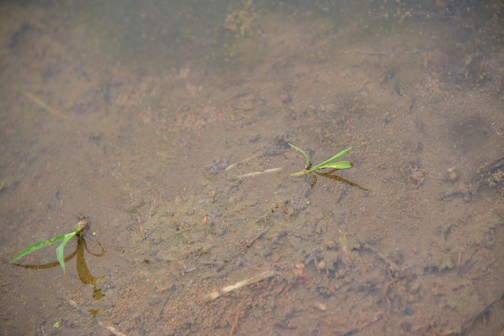 5月5日に直播きした飼料稲を見てきました。5月29日の姿です。