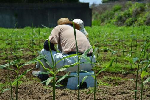 手で雑草を取るしかないそうです。暑いのに大変です。