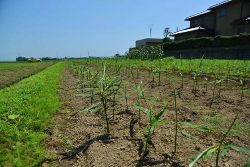 組合で作る、ショウガの畑を見てきました。