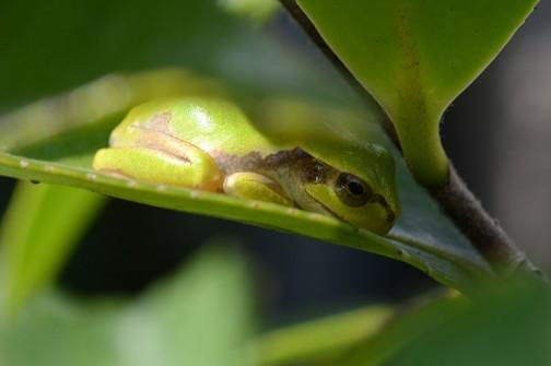 アマガエルは正確にはニホンアマガエルというそうです。ここのところ雨がずっと降っていなかったので、木の葉の上で「わずかな水分も絶対に外に出さない」という、強烈な意思が感じられるような「体表面最小化」フォーメーションをとっているアマガエル。