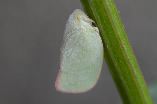 アオバハゴロモ(青羽羽衣、学名:Geisha distinctissima)は、カメムシ目ヨコバイ亜目アオバハゴロモ科(Flatidae)に属する昆虫である。薄緑色の美しい昆虫だが、一部植物の害虫としても知られる。