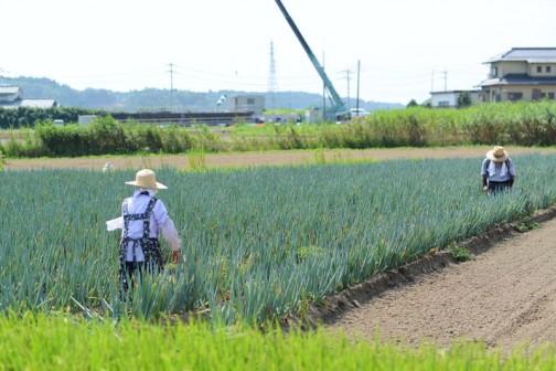 年長者のSさん夫婦がネギ畑に出ています。暑い中大変です。