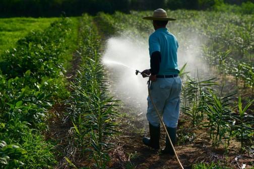 雨が降らないので、Iさんが生姜に水をやっています。さすがに植物は雨が欲しそうです。