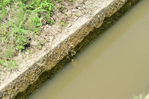 こんな小さい水路でカメ発見! コイツもミシシッピアカミミガメなんだろうなあ・・・