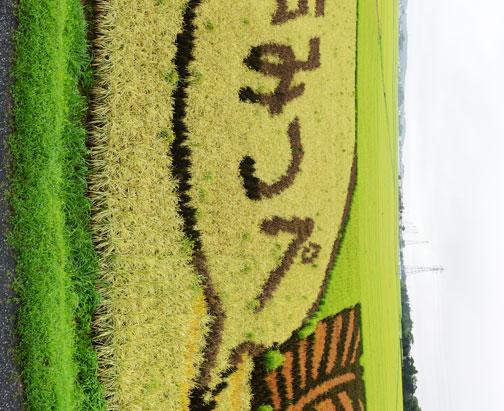 水戸市川又町田んぼアート協議会の「田んぼアート」。もうだいぶ色が黄色くなってしまってます。みとちゃんがしおれる前に急いで『GO』