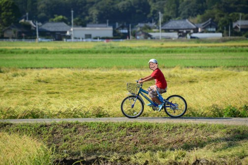 大場町島地区のコシヒカリの稲刈り2015