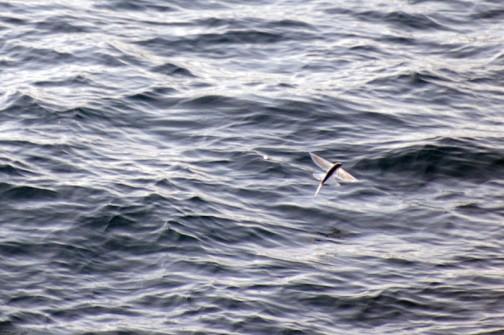フェリーから見た「トビウオ」上から見るとトンボみたいに見えます。