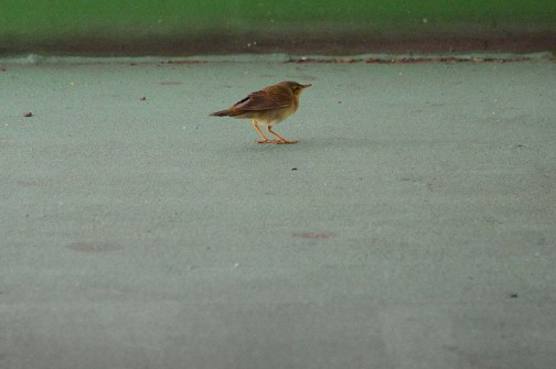 また別の鳥が・・・上の鳥と似ているけど、羽根に白い紋が付いていません。こちらは少し大きめ。