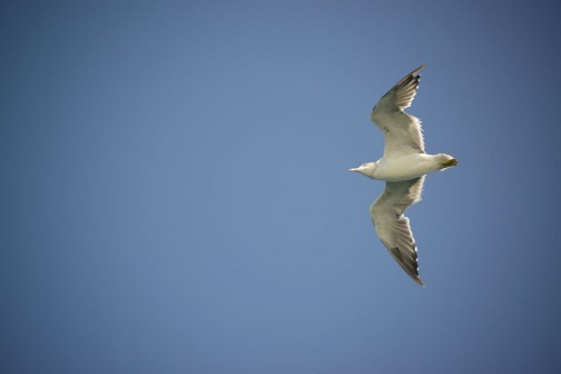 ウミネコ・・・だと思う。スピードを出して飛んでいるときは足を畳んでいますが・・・