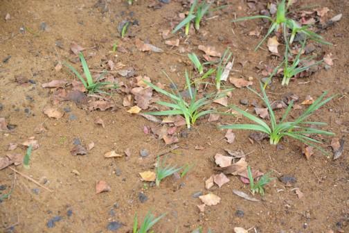 あ!そうそう・・・そういえば、前回の活動で植えた水仙が芽を出しました。