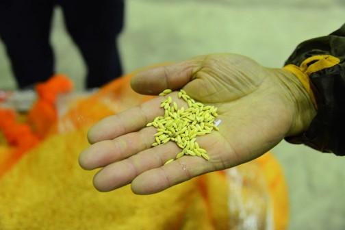 食用米に比べてちょっと長めで細身。そして両端がとんがってる。「夢あおば」とはおなじアオバが付いているけど、ずいぶん違う感じ。