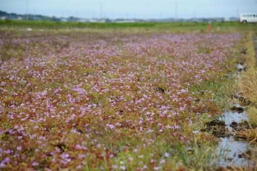 ゲンゲ(紫雲英、翹揺 Astragalus sinicus)はマメ科ゲンゲ属に分類される越年草である。中国原産。レンゲソウ(蓮華草)、レンゲ、とも呼ぶ。