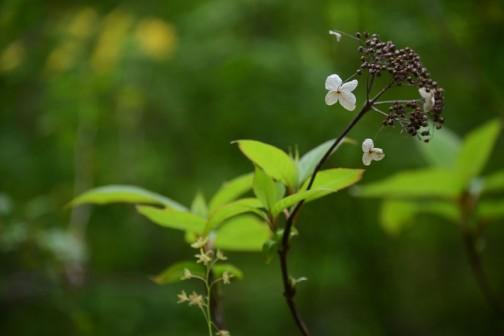 アジサイに似てる。花が咲き終わって枯れちゃったのか、それとも今咲いているのか、地味な色でよくわかりません。